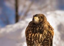 Gouden Eagle in de Winter Royalty-vrije Stock Afbeeldingen