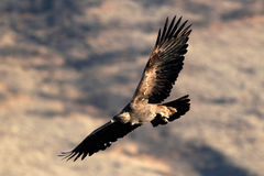 Gouden Eagle die (Aquila-chrysaetos) stijgen, Oregon, Emigrantenmeer, Stock Afbeelding