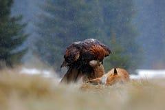 Gouden Eagle, die op doden Rode Vos, staart in de rekening, in het bos tijdens de regen voeden Stock Afbeeldingen