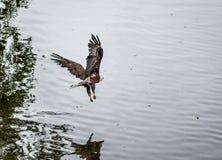 Gouden Eagle die over het strand vliegen stock afbeelding