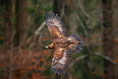 Gouden Eagle, die vóór de herfst bos, bruine roofvogel vliegen met grote draagwijdte, Noorwegen De scène van het actiewild van aa royalty-vrije stock foto's