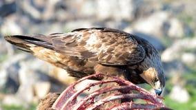 Gouden Eagle Eating van een Carcasse stock fotografie