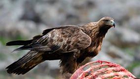 Gouden Eagle Eating van een Carcasse royalty-vrije stock afbeeldingen
