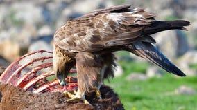 Gouden Eagle Eating van een Carcasse stock afbeelding