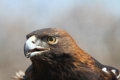 Gouden Eagle Educational Bird Portrait royalty-vrije stock fotografie
