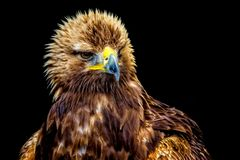 Gouden Eagle headshot stock afbeeldingen