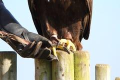 Gouden Eagle met valkenier die klauwen toont Stock Afbeeldingen