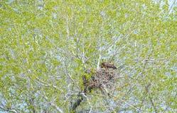 Gouden Eagle Mother Feeding Baby Eaglets in Nest royalty-vrije stock afbeeldingen