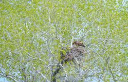 Gouden Eagle Mother Feeding Baby Eaglets in Nest royalty-vrije stock afbeelding