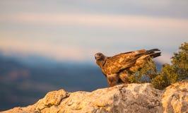 Gouden Eagle op een rots Stock Foto's