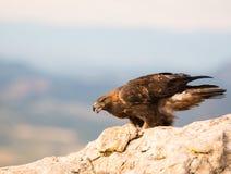 Gouden Eagle op een rots Royalty-vrije Stock Foto