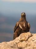 Gouden Eagle op een rots Stock Afbeeldingen