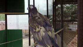 Gouden Eagle op een tak in cel stock video