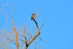 Gouden Eagle Preening op Boomtak stock foto
