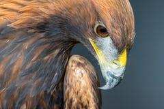 Gouden Eagle-profielportret Royalty-vrije Stock Afbeeldingen