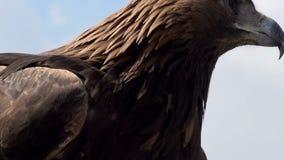 Gouden Eagle Spread zijn Vleugels stock video