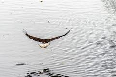 Gouden Eagle terug met vleugels brede open royalty-vrije stock foto's