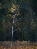 Gouden eenzame boom Royalty-vrije Stock Afbeelding