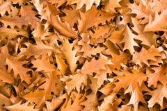 Gouden eiken bladeren Stock Foto