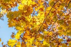 Gouden en Bruin Autumn Maple Leaves Stock Afbeelding