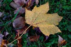 Gouden en Groen de herfstblad Stock Foto's