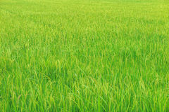 Gouden en groen padieveld Royalty-vrije Stock Fotografie