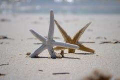 Gouden en Witte Zeester op een gouden zandig strand royalty-vrije stock afbeeldingen