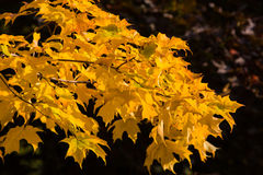 Gouden esdoornbladeren Stock Foto's