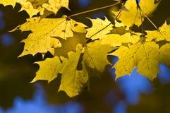 Gouden esdoornbladeren in zonlicht. Stock Fotografie