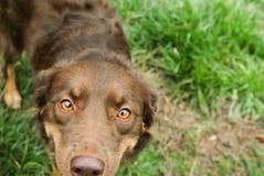 Gouden Eyed Hond Royalty-vrije Stock Afbeeldingen