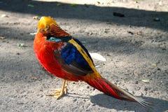 Gouden fazant royalty-vrije stock foto
