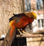 Gouden fazant Stock Fotografie