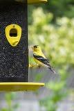 Gouden Finch Eating royalty-vrije stock afbeeldingen