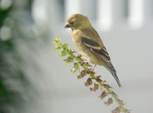 Gouden Finch Finding de Laatste Zaden van het Seizoen stock afbeelding