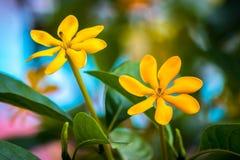 Gouden gardenia twee met groene bladeren stock afbeeldingen