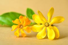 Gouden gardeniabloem Stock Foto