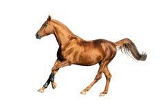 Gouden geïsoleerd kastanjepaard Stock Afbeelding