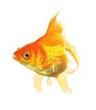 Gouden geïsoleerde Vissen Stock Foto's