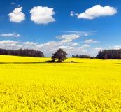 Gouden gebied van bloeiend raapzaad, canola of koolzaad royalty-vrije stock afbeeldingen
