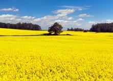 Gouden gebied van bloeiend raapzaad, canola of koolzaad stock afbeeldingen