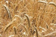 Gouden gebied van tarwe klaar om worden geoogst Stock Afbeelding