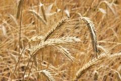 Gouden gebied van tarwe klaar om worden geoogst Stock Afbeeldingen