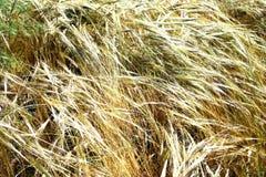 Gouden gebieden in de wind royalty-vrije stock foto's