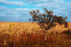 Gouden gebieden en alleen boom Stock Afbeelding