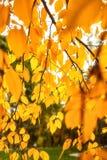 Gouden gebladerte op een boom in de herfst Stock Foto