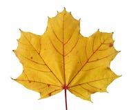 Gouden gekleurd esdoornblad in daling Royalty-vrije Stock Fotografie