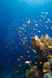 Gouden gekleurd school en koraalrif Stock Afbeeldingen