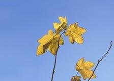 Gouden gele de herfstbladeren tegen een blauwe hemel Stock Foto
