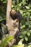 Gouden-geleide Leeuw Tamarin stock foto's