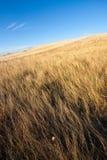 Gouden gewassen en blauwe hemel Stock Foto's
